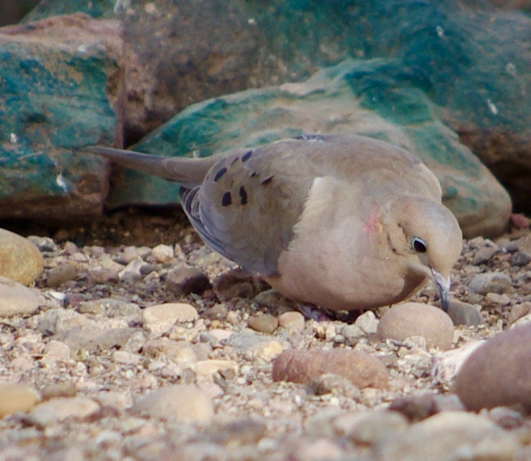Here is a Mourning Dove looking for food at our campsite. In case you are wondering, yes, the rocks in the background are bright green. Why someone chose to paint rocks in the desert bright green I cannot tell you.