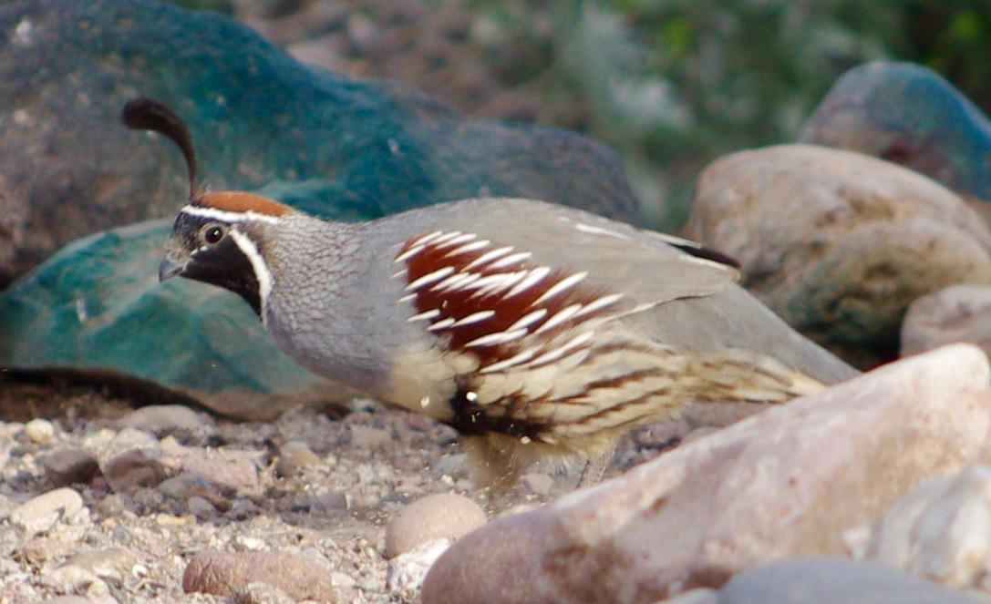 Here is a quail scratching the ground for seeds (or flecks of green paint?)