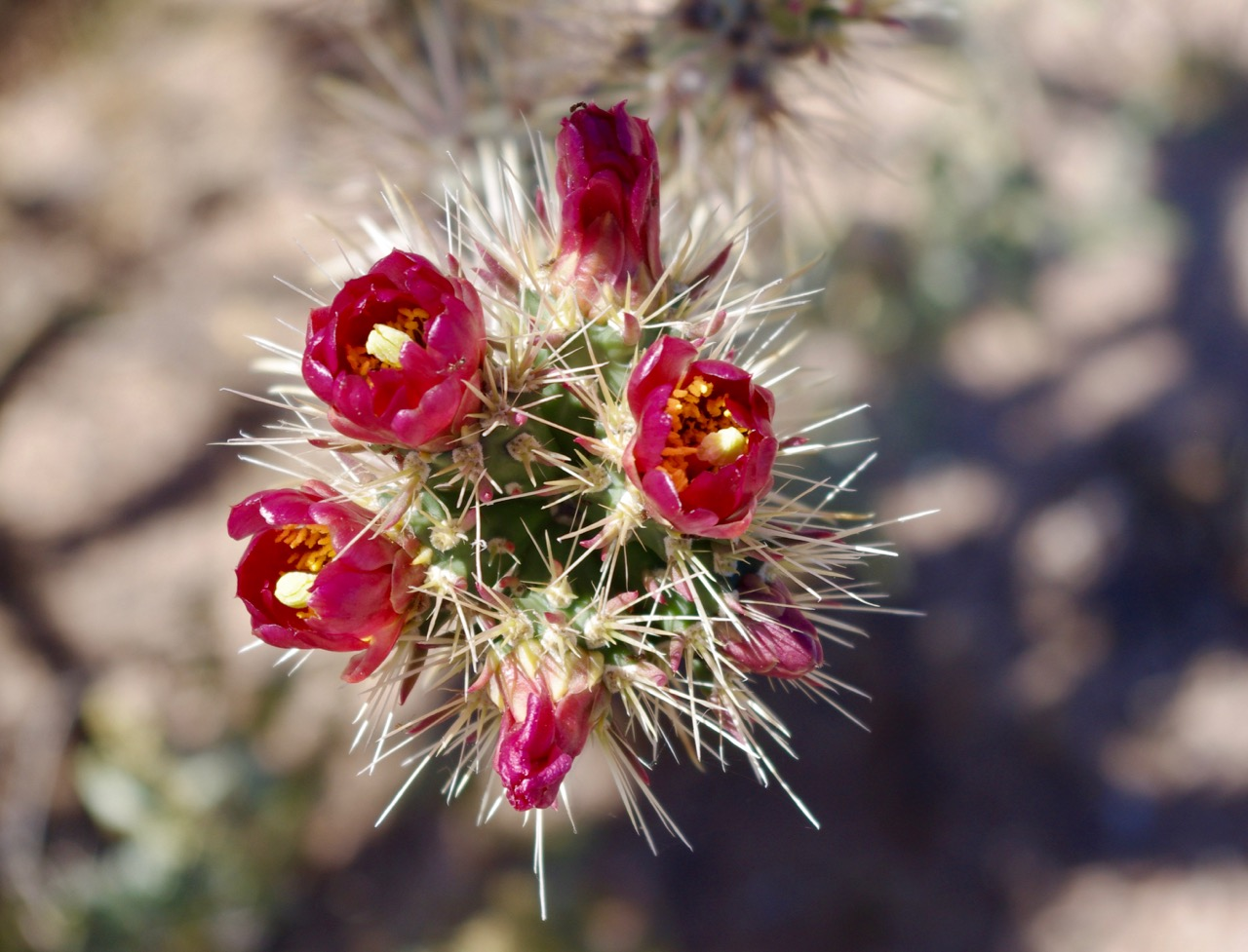 Closeup of red cholla (most of them were red).