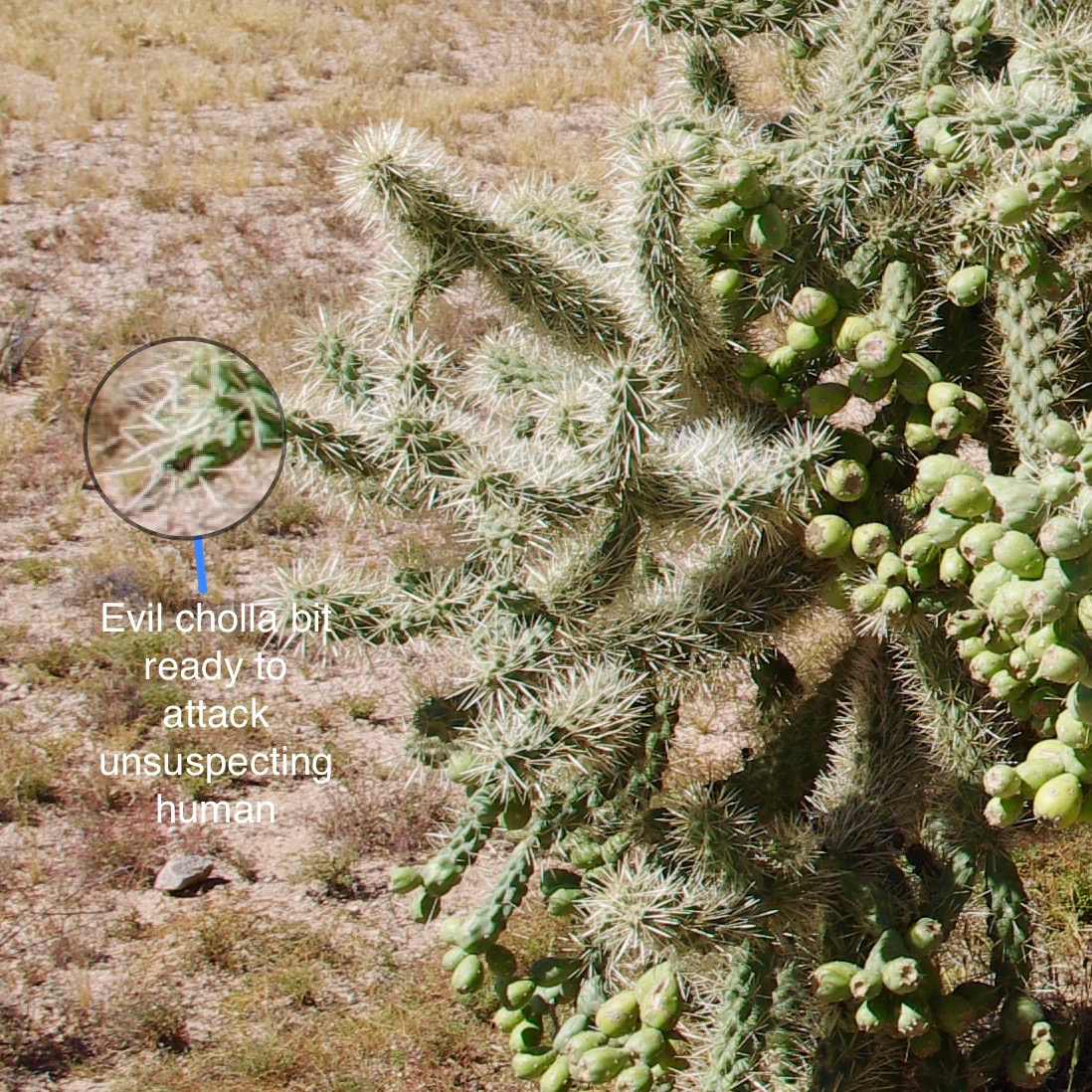 I did not take pictures of the cholla bits that actually attacked us because by the time I got rid of them, I was terrified of getting close enough to photograph them. Here is an example of what they look like, though.