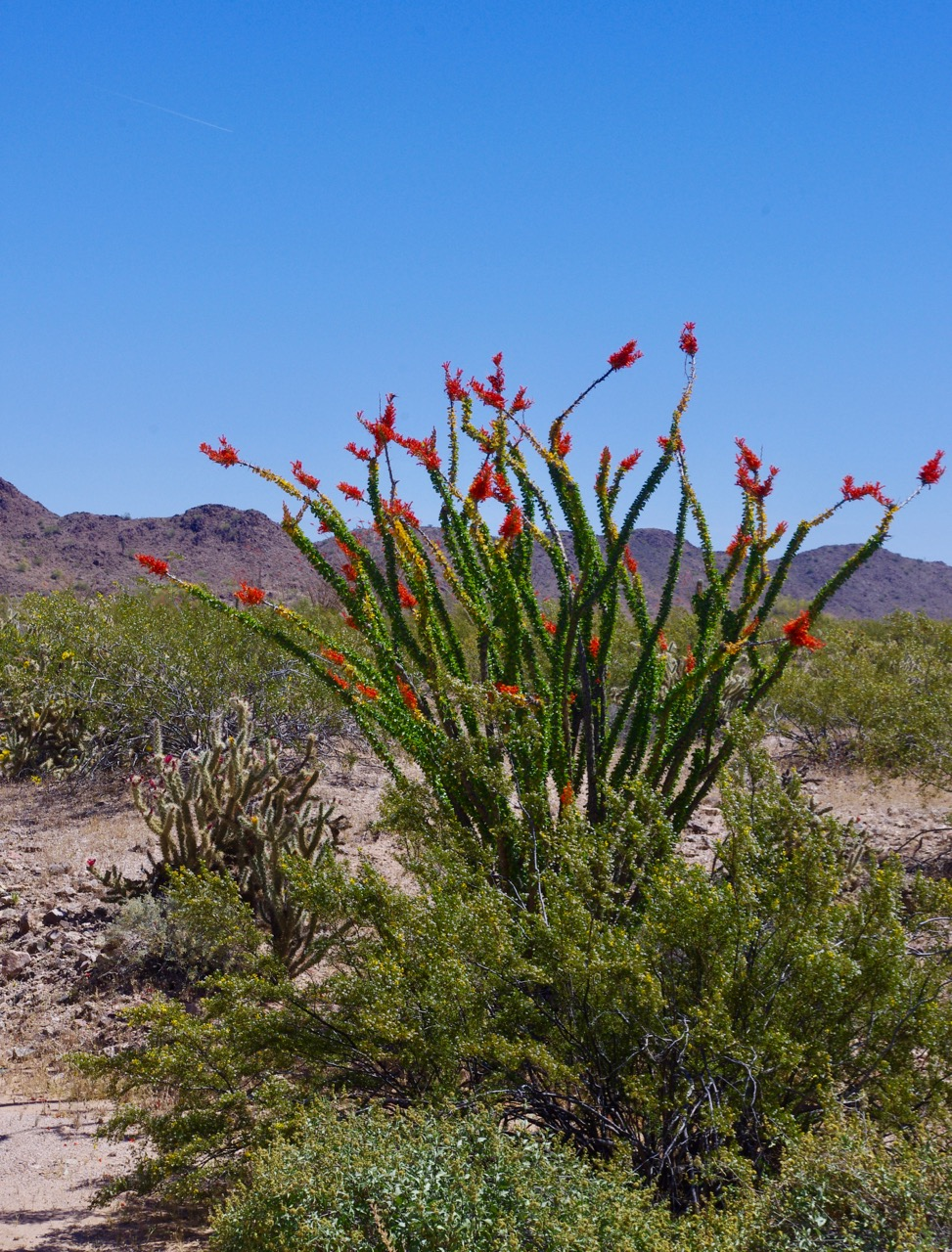 The ocotillo were blooming, too (pronounced 'ocotiyo')