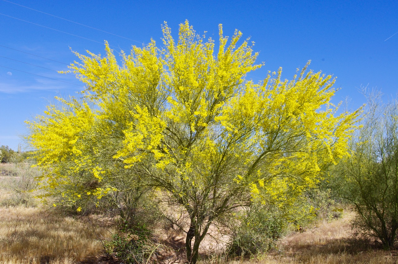 And the Palo Verde were blooming as well. I assume these are Palo Verde simply because the wood is green (hence the 'verde'), and I mean GREEN like a katydid or a preying mantis. But I've never looked up Palo Verde, and perhaps these are something else.