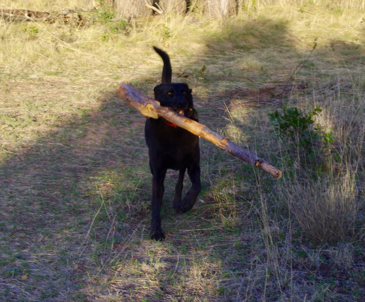 Whilst there, my Associate Navigator tried to interest me in a game of fetch with this petite, delicate stick which I couldn't even pick up, much less throw.