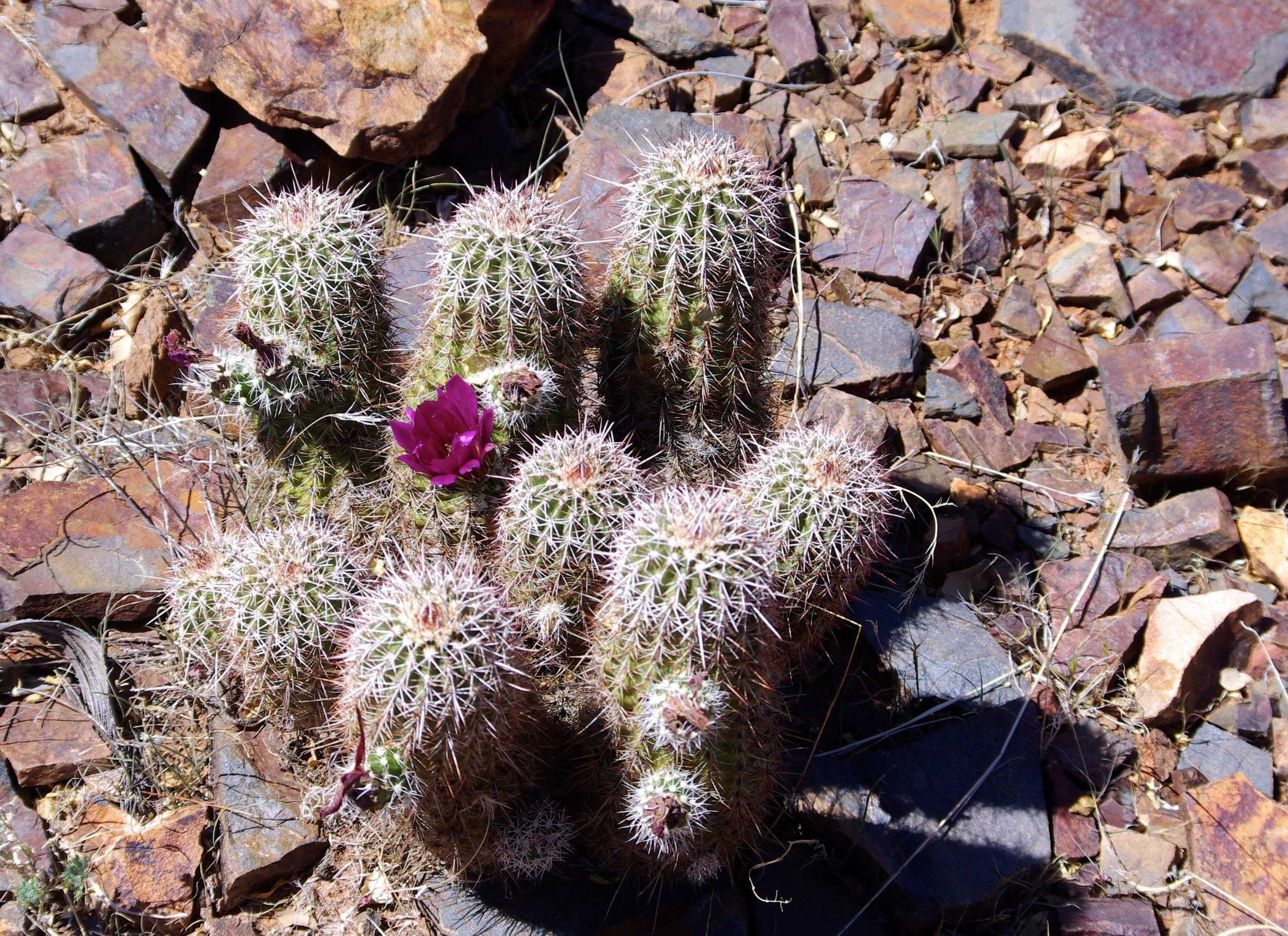The cacti are starting to bloom up here
