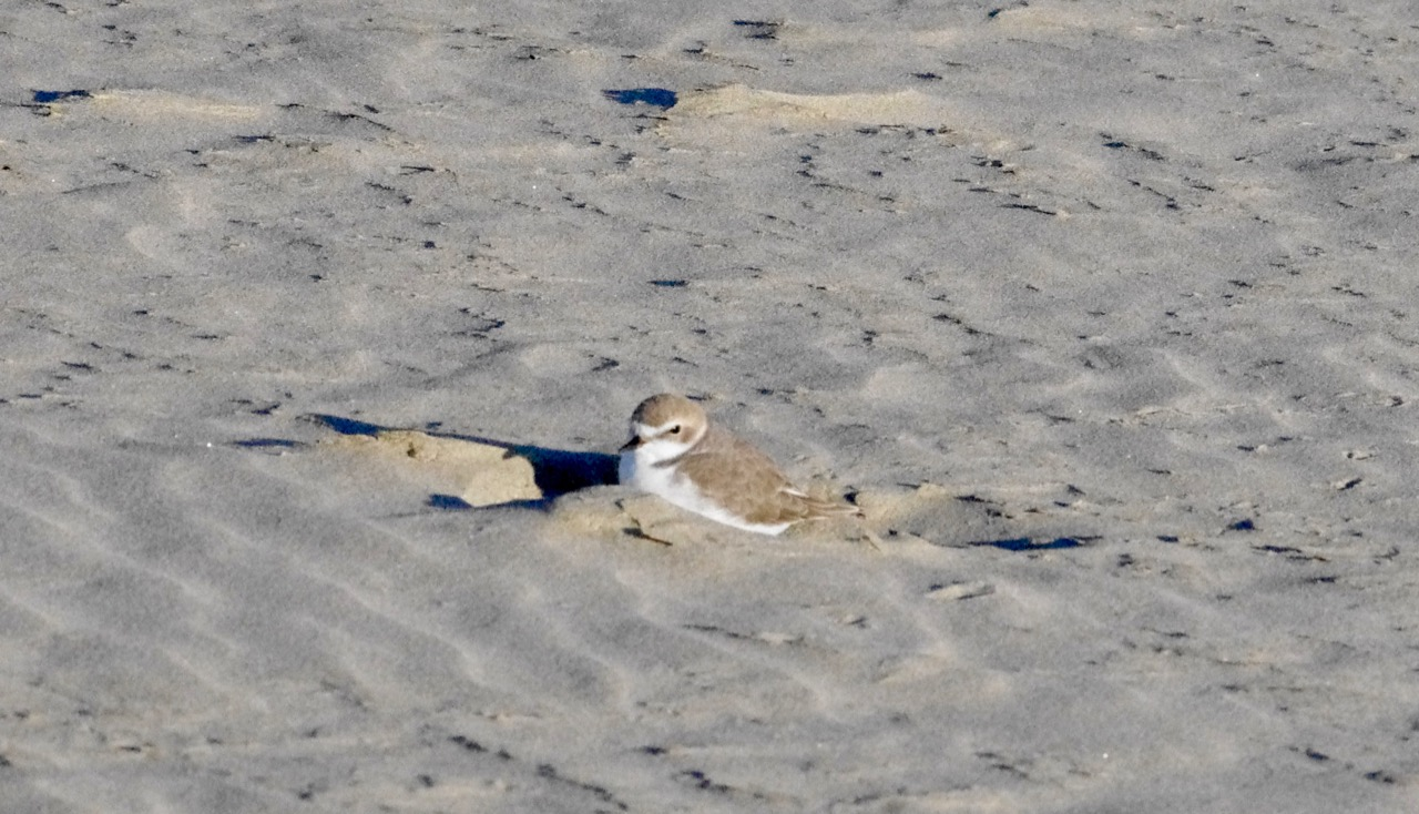 Possible nesting Snowy Plover?