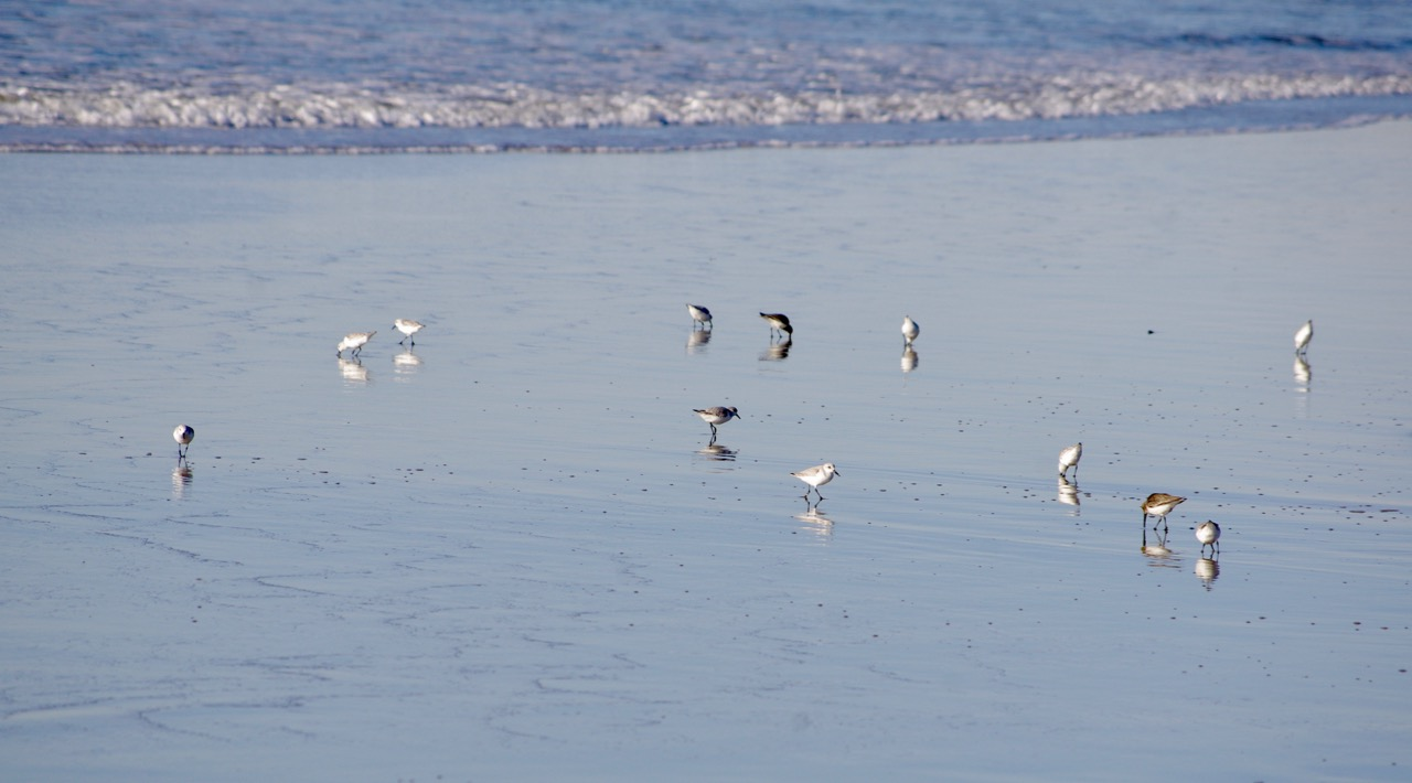 Here is a bunch of Snowy Plovers making out with their reflections in the water. The Snowy Plover is renowned for its high self-esteem.