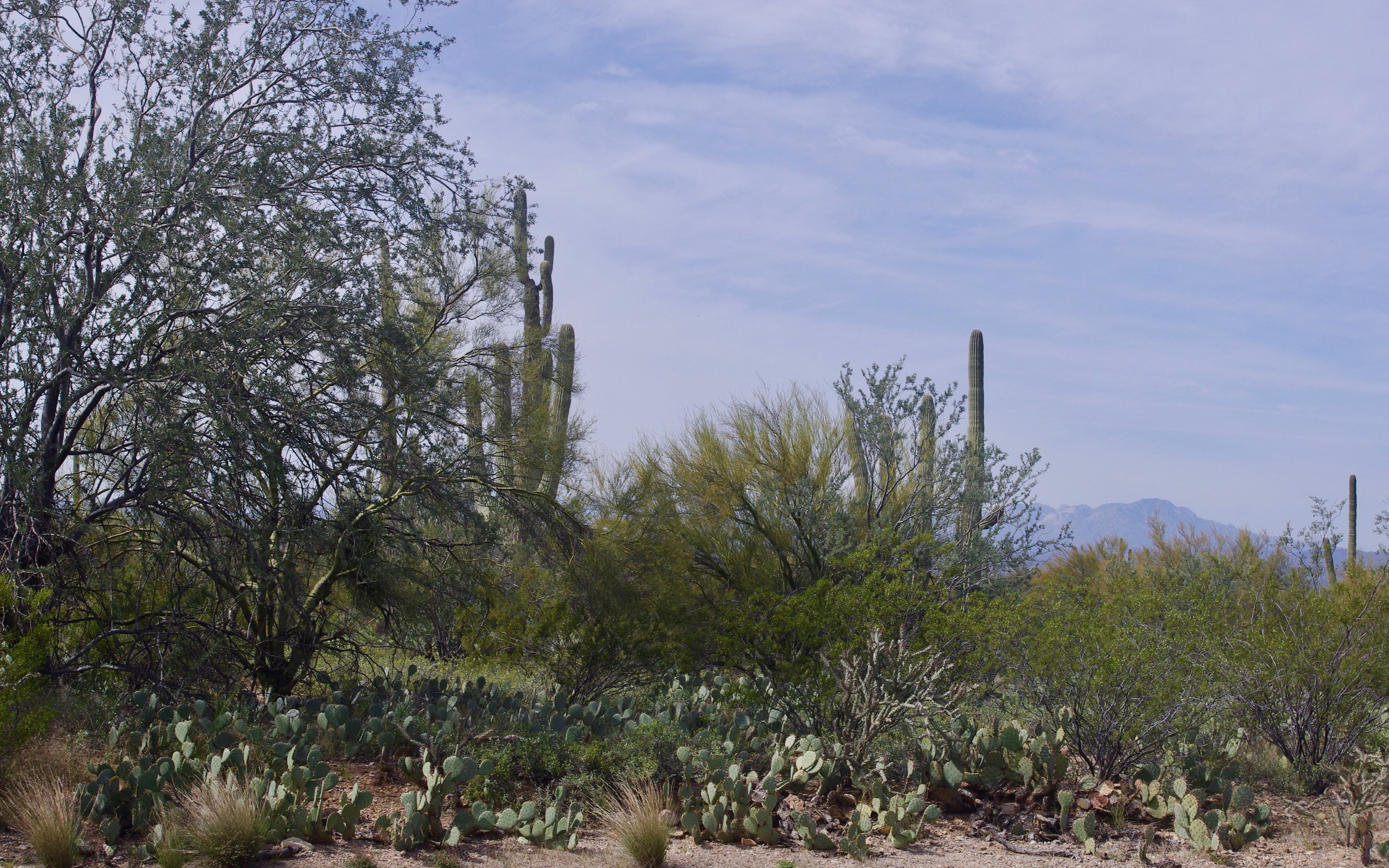 Here is part of Saguaro National Park (west unit), also west and slightly north of Tucson. Plenty of saguaro here plus the ubiquitous Prickly Pear. Although this photo doesn't show any, there are also Barrel Cactus, Cholla and Hedgehog Cactus. More on that in a future installment.