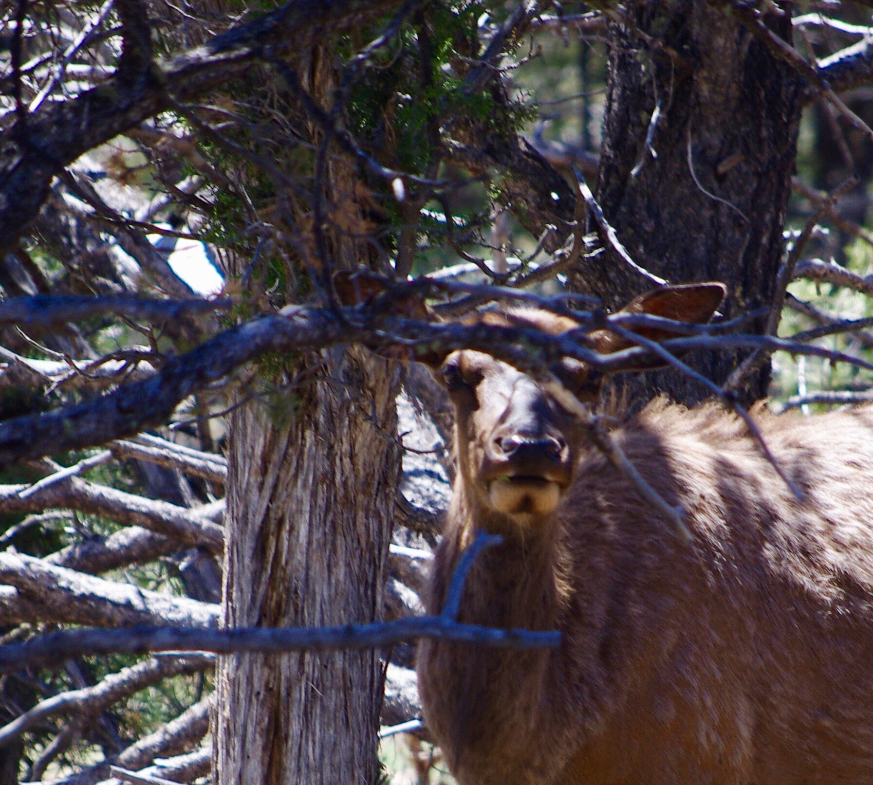 Your neighbor, the elk. You can see the resemblance, right? No earrings here. Wild cows do not wear jewelry.