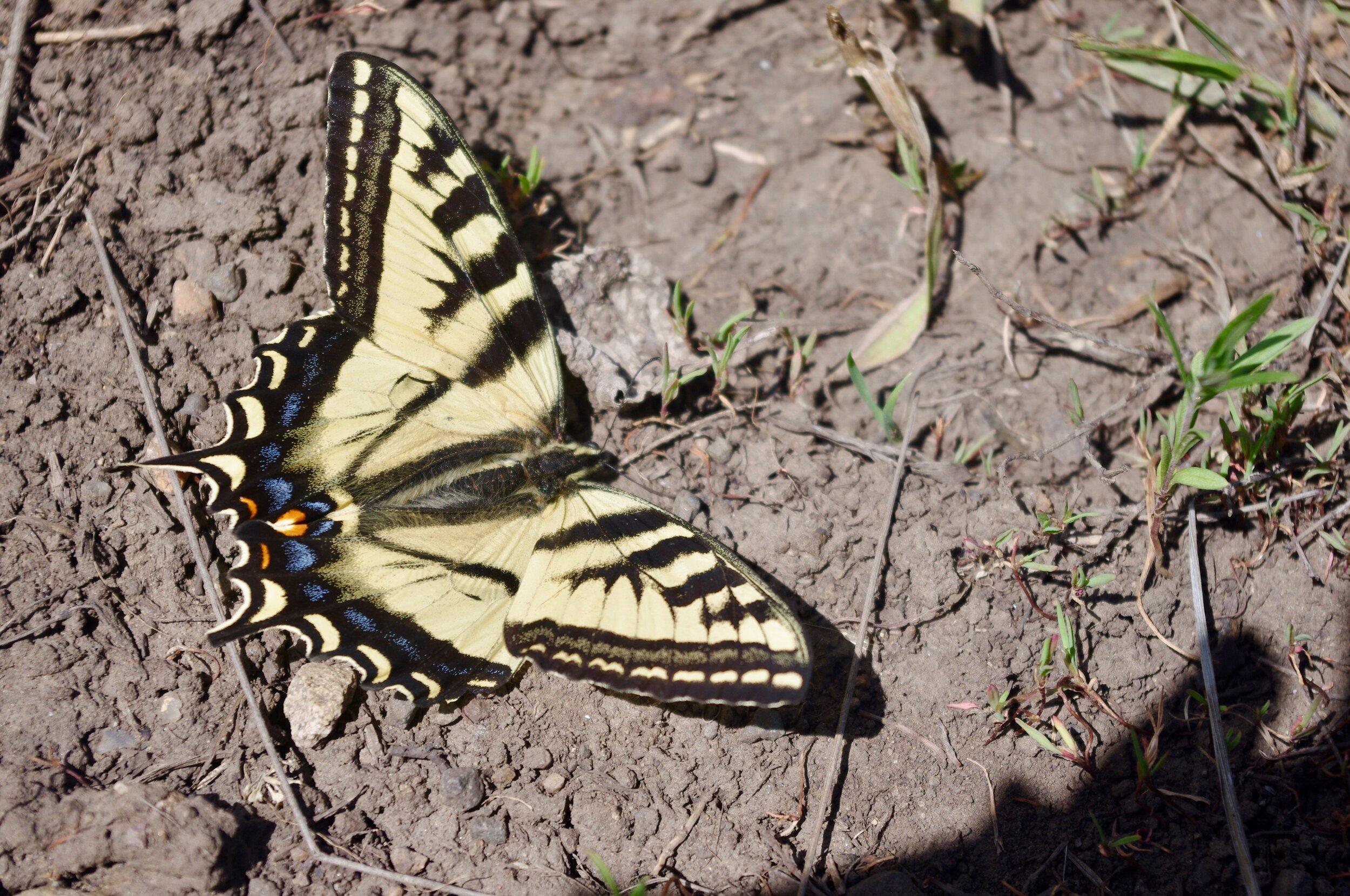 Butterfly CO.jpg
