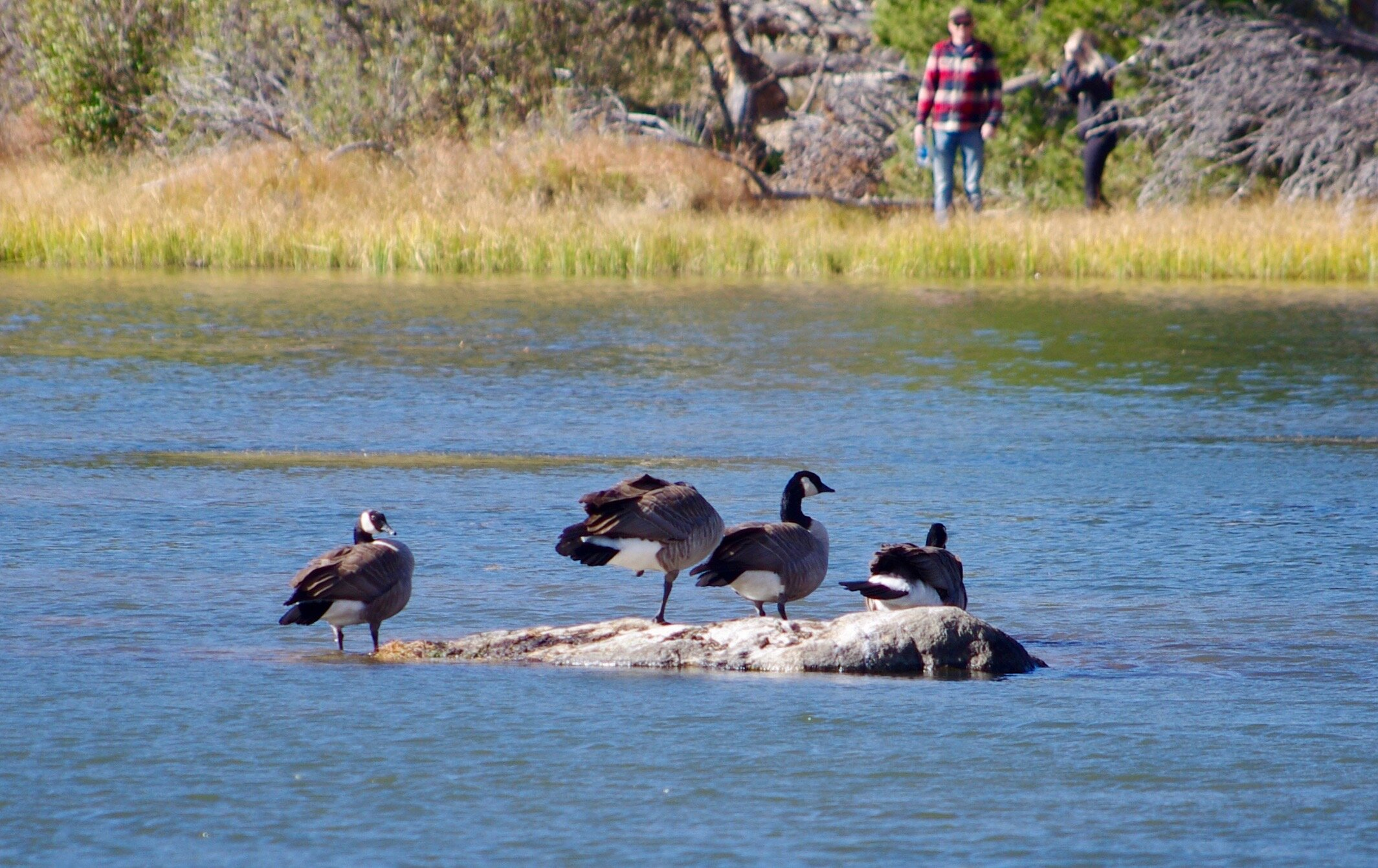 Canada geese at Sprague Lake. Plus some fuzzy tourists in the background.