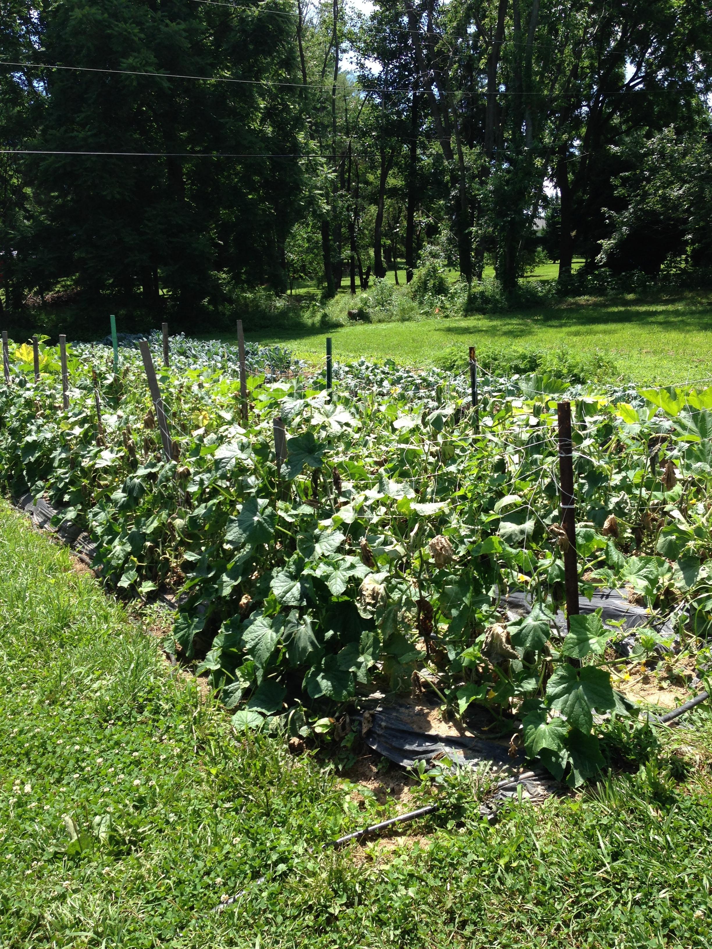 Cucumbers, squash, kale, etc. all basking in the sun!