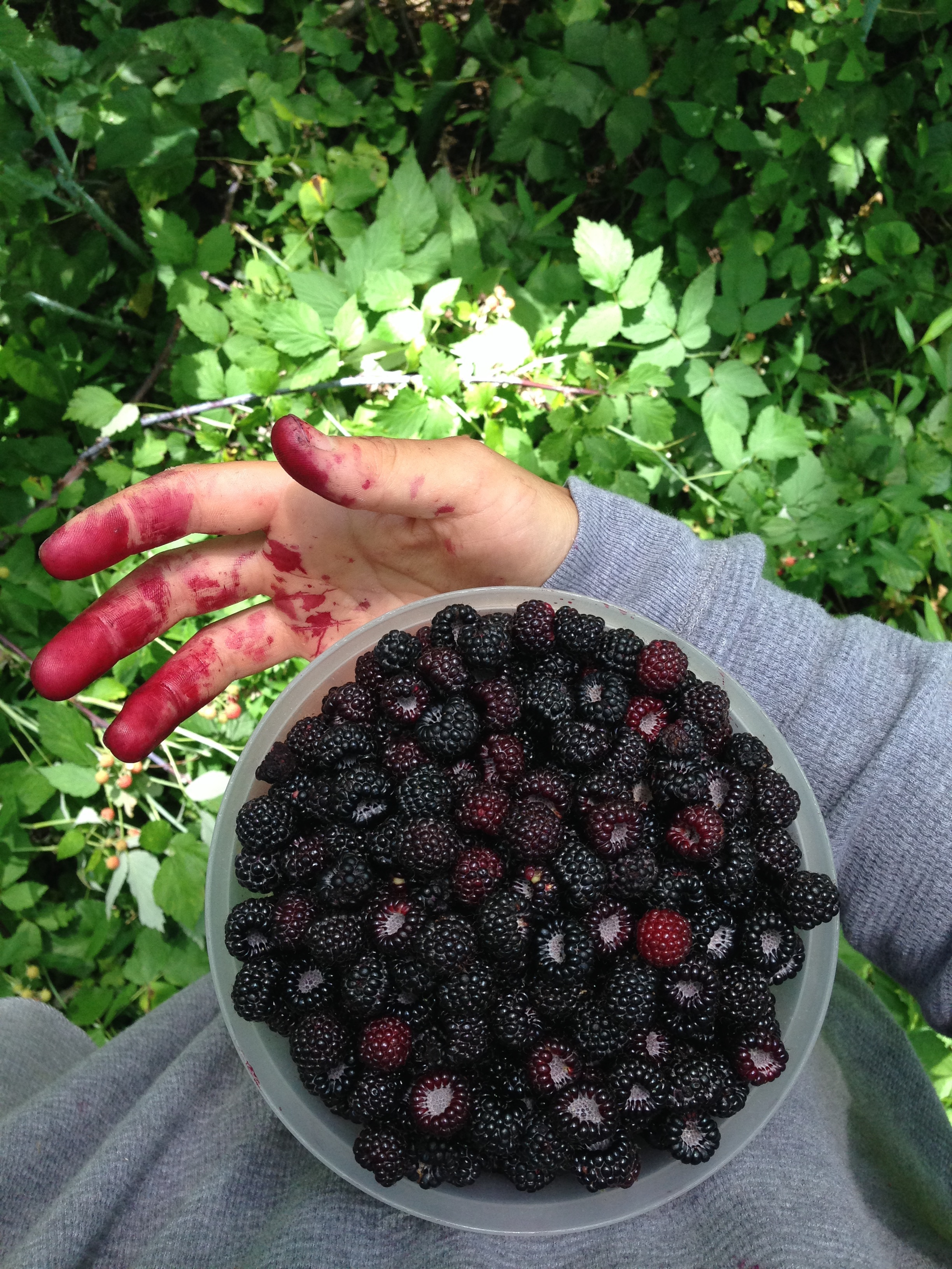 Hands smothered (and mouth) is raspberry juice from one of the most joyful harvests I've had thus far this season.