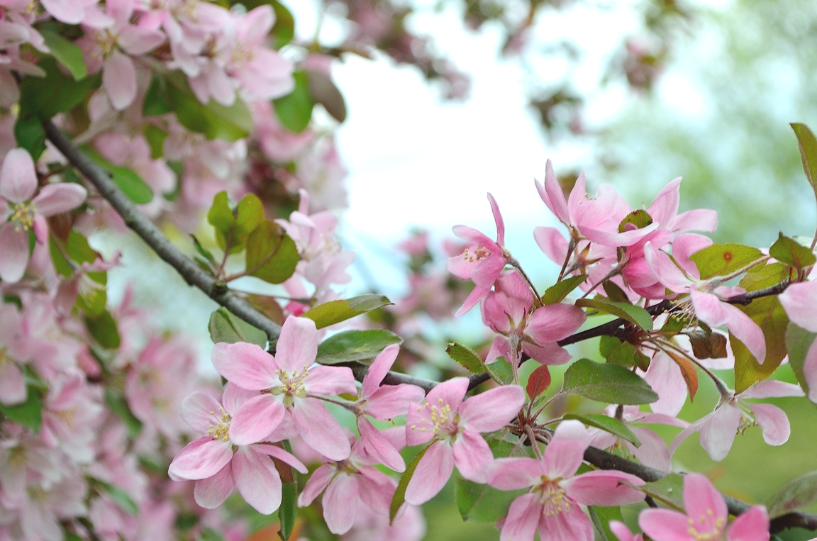 crabappleblossoms1email.jpg