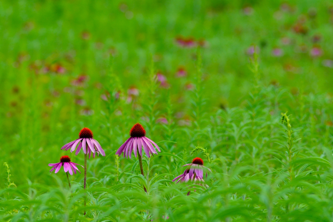 Purple Daisies Showing Off