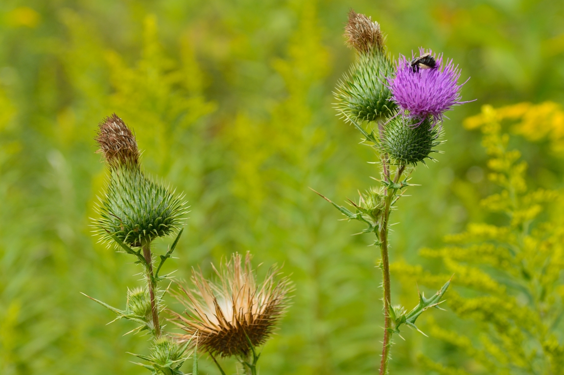 The Bee and the Thistles