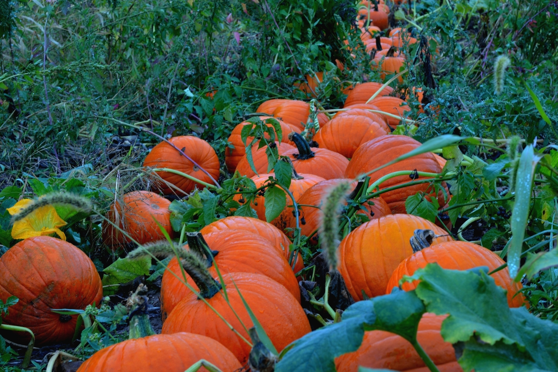 Hidden Pumpkin Patch