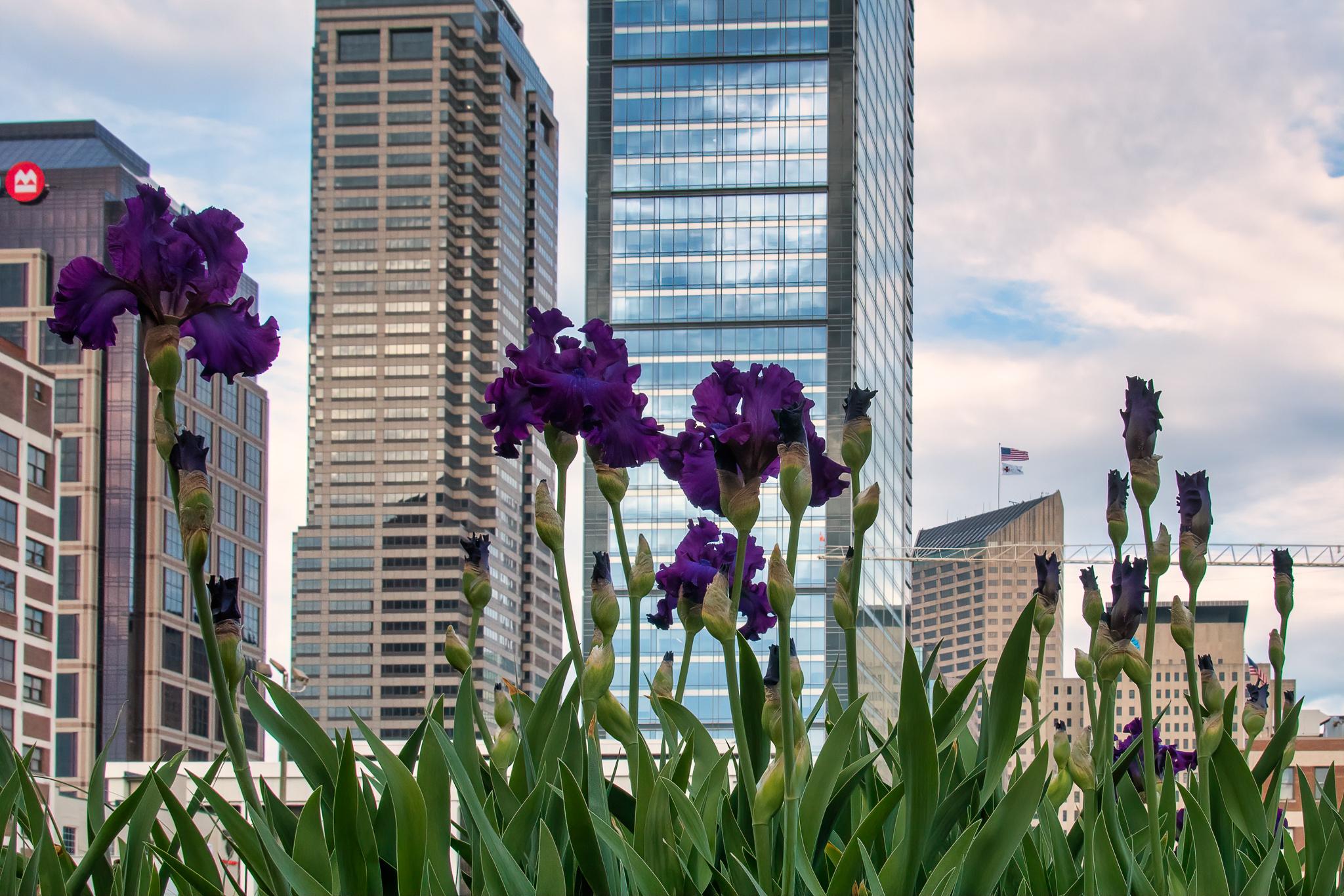 Purple Iris on the Indy Cultural Trail, along Alabama Street.