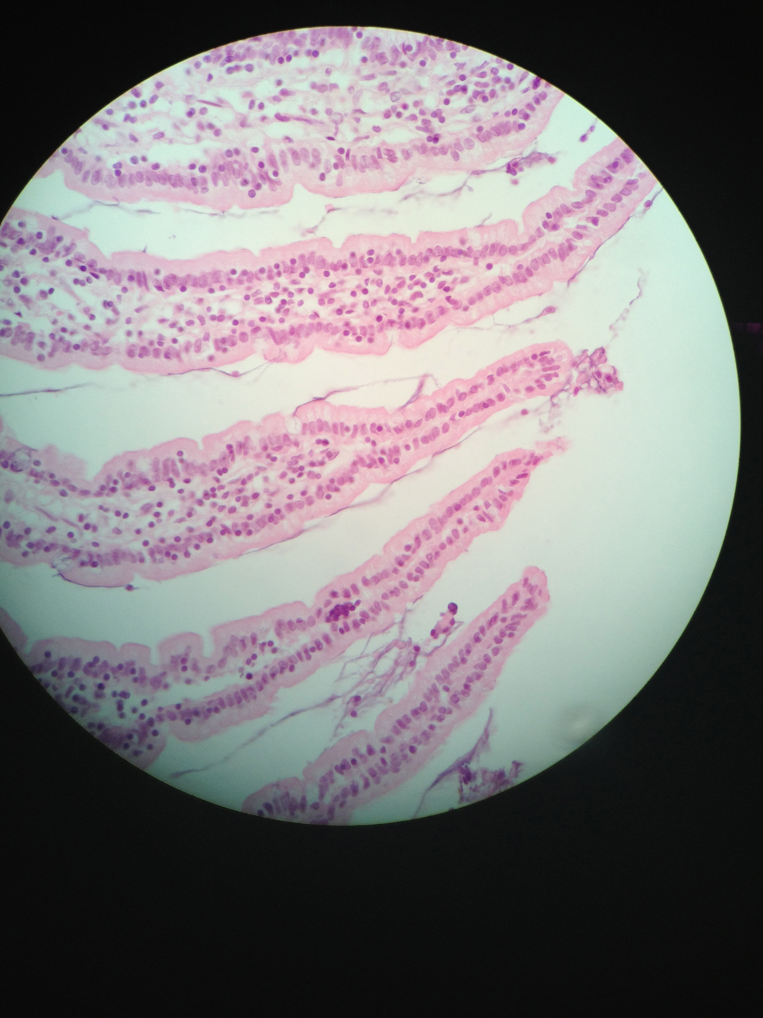 simple columnar (Jejunum) 400X