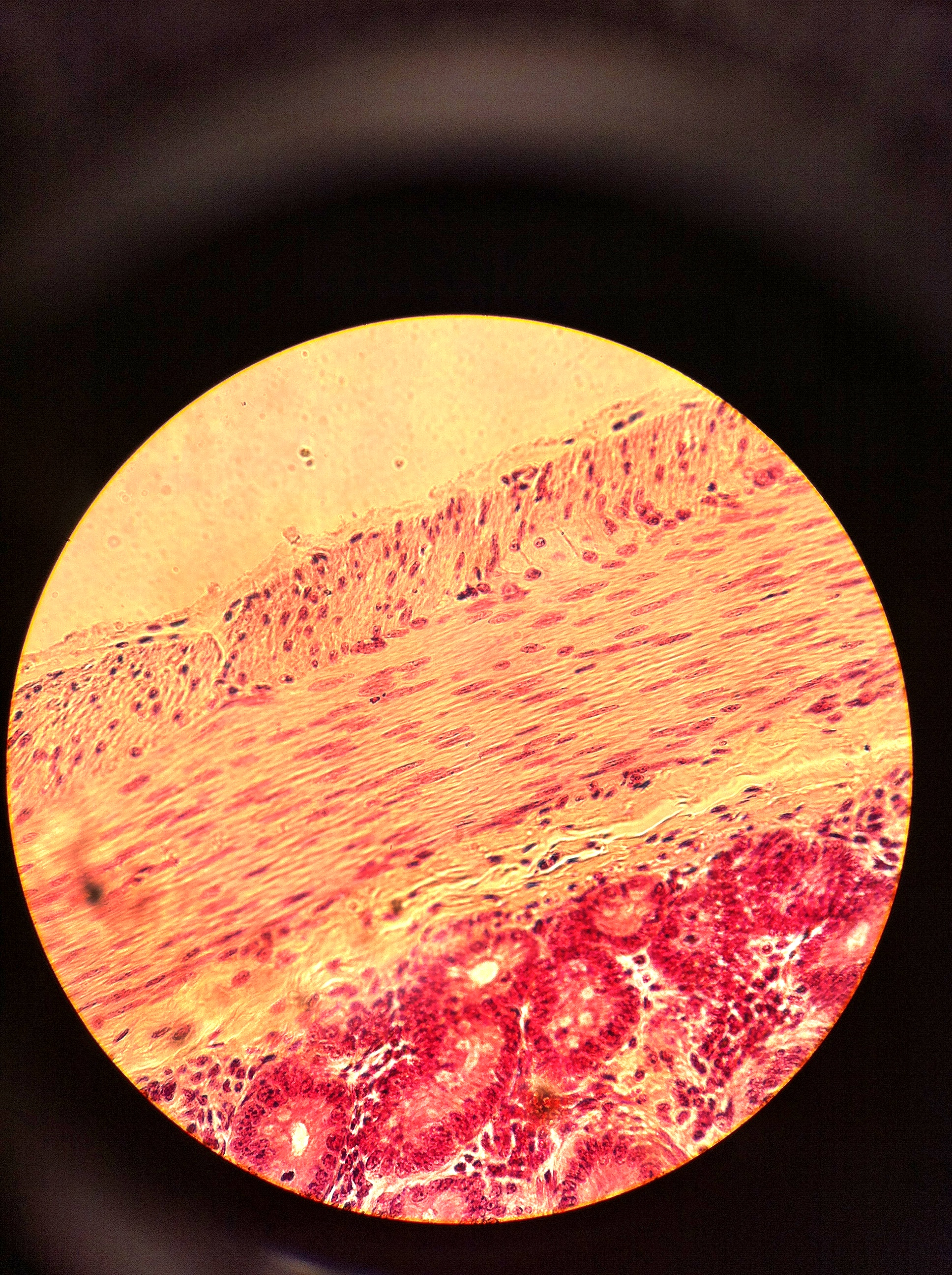 smooth muscle (jejunum) 400X