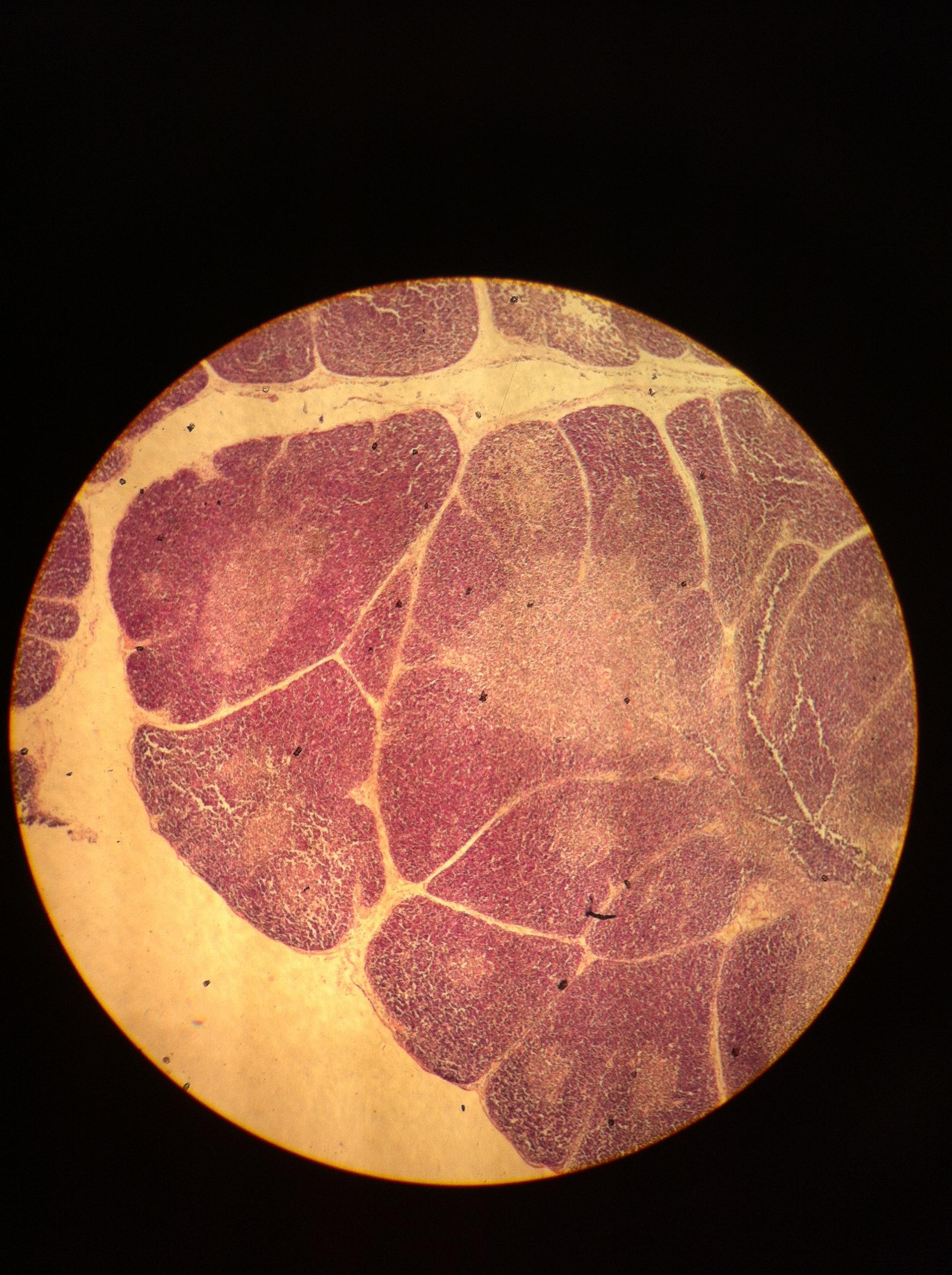 Thymus 40X