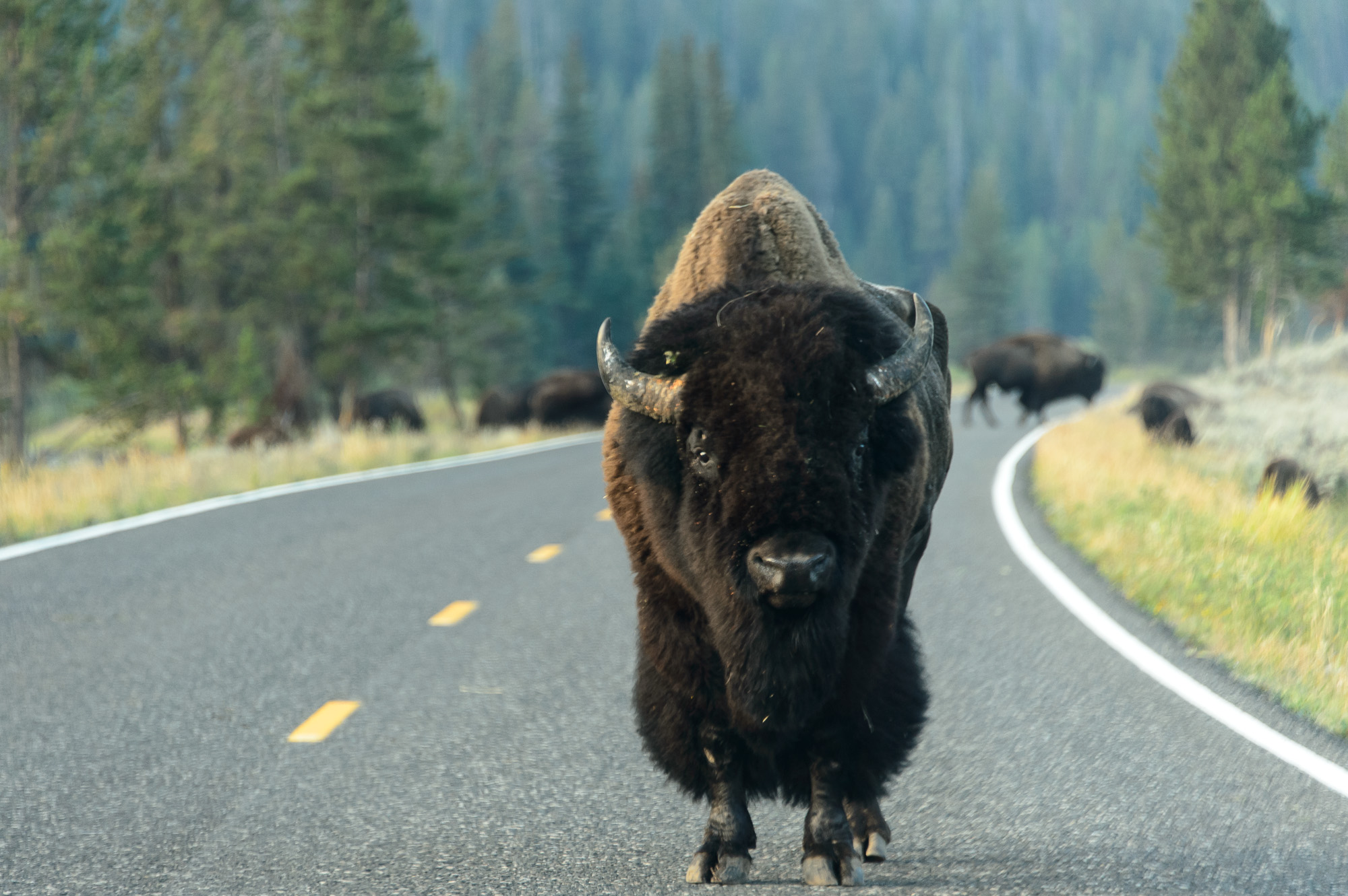 """The Road Guard"" Lamar Valley, Yellowstone NP"