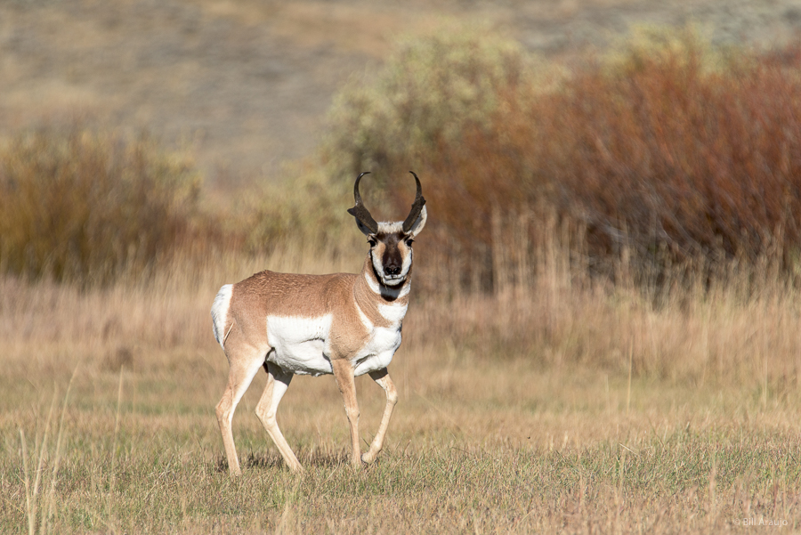The fastest land animal in North America