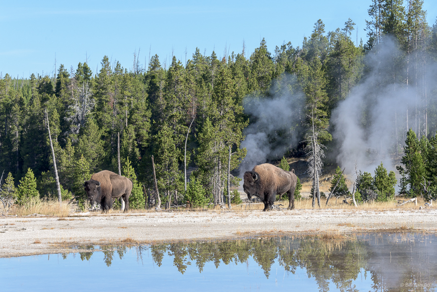 Bison in the Old Faithful area