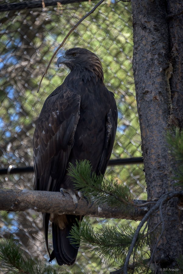 Golden Eagle @ The Grizzly and Wolf Discovery Center
