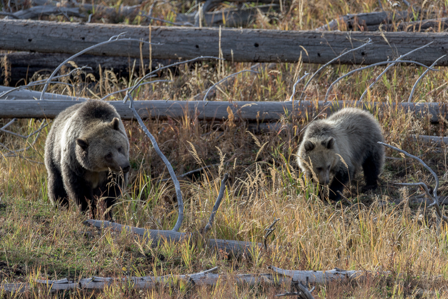 Mom and baby grizzly