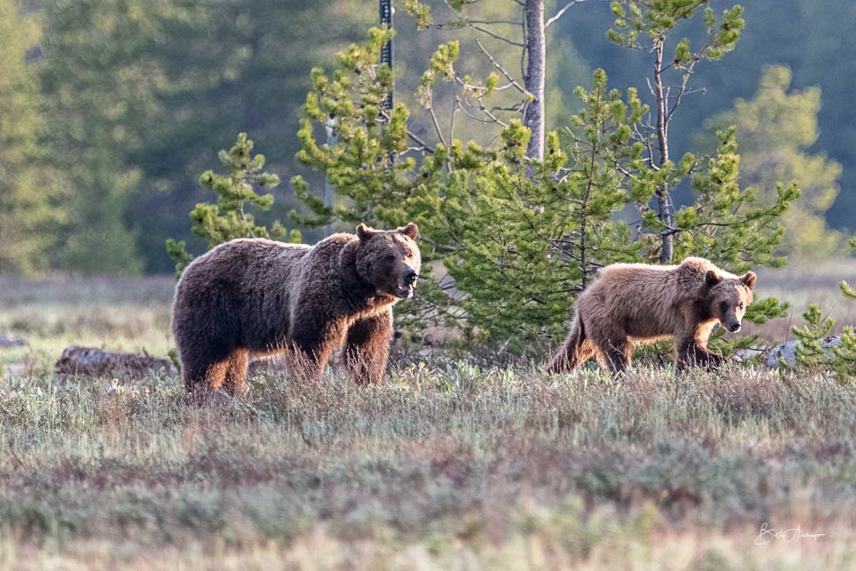 Grizzly 399 with her cub