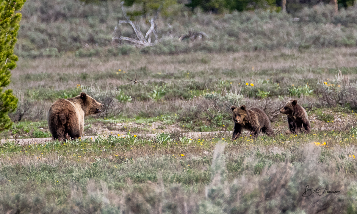 Grizzly 793 and her cubs