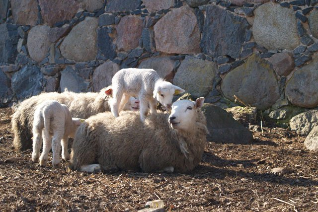 Some of the sheep at Eve's farm