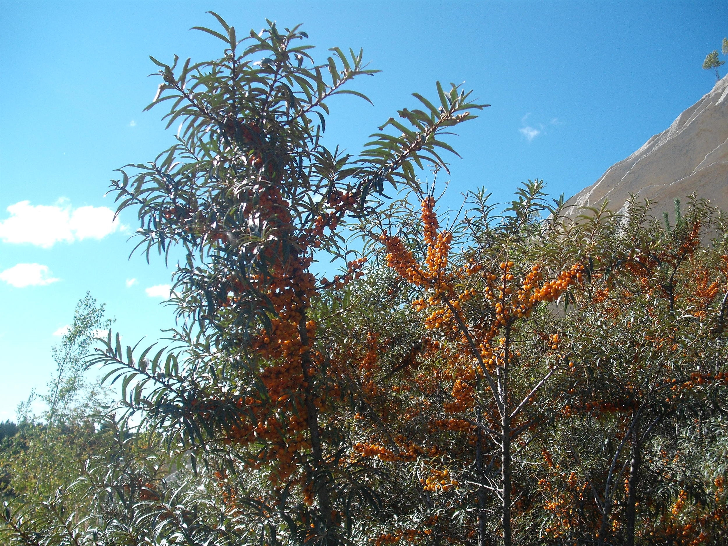 Sea buckthorn, pictured on my second visit, in August 2015
