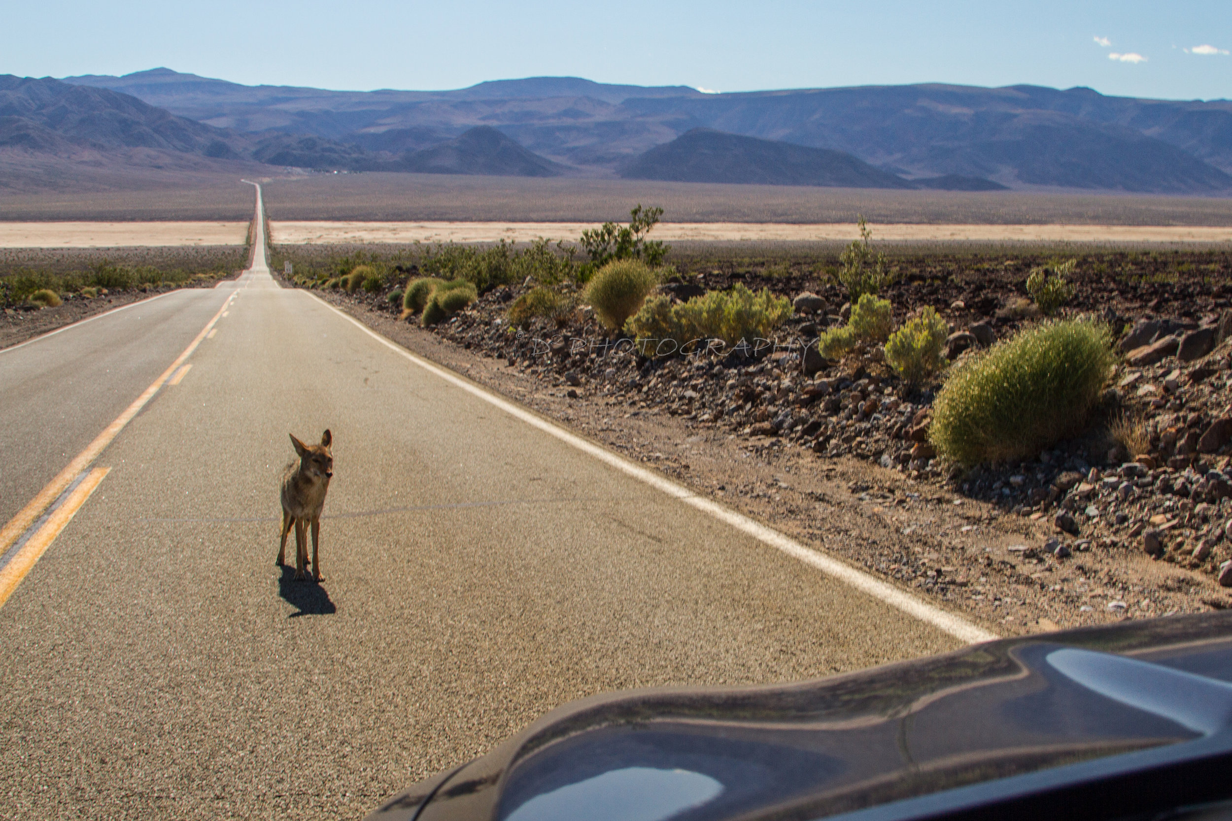 Mother Coyote in Death Valley National Park
