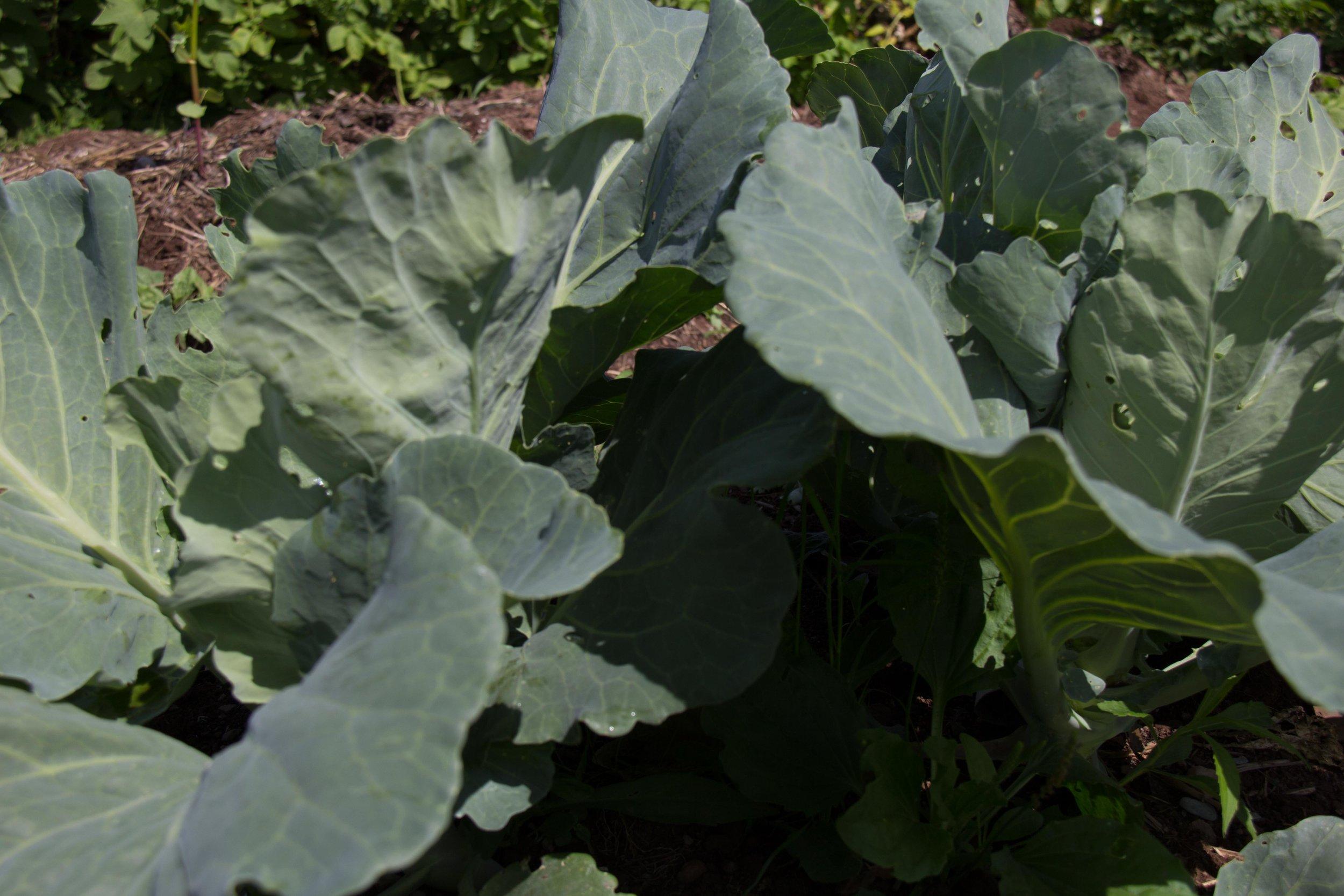 Tancook Cabbage
