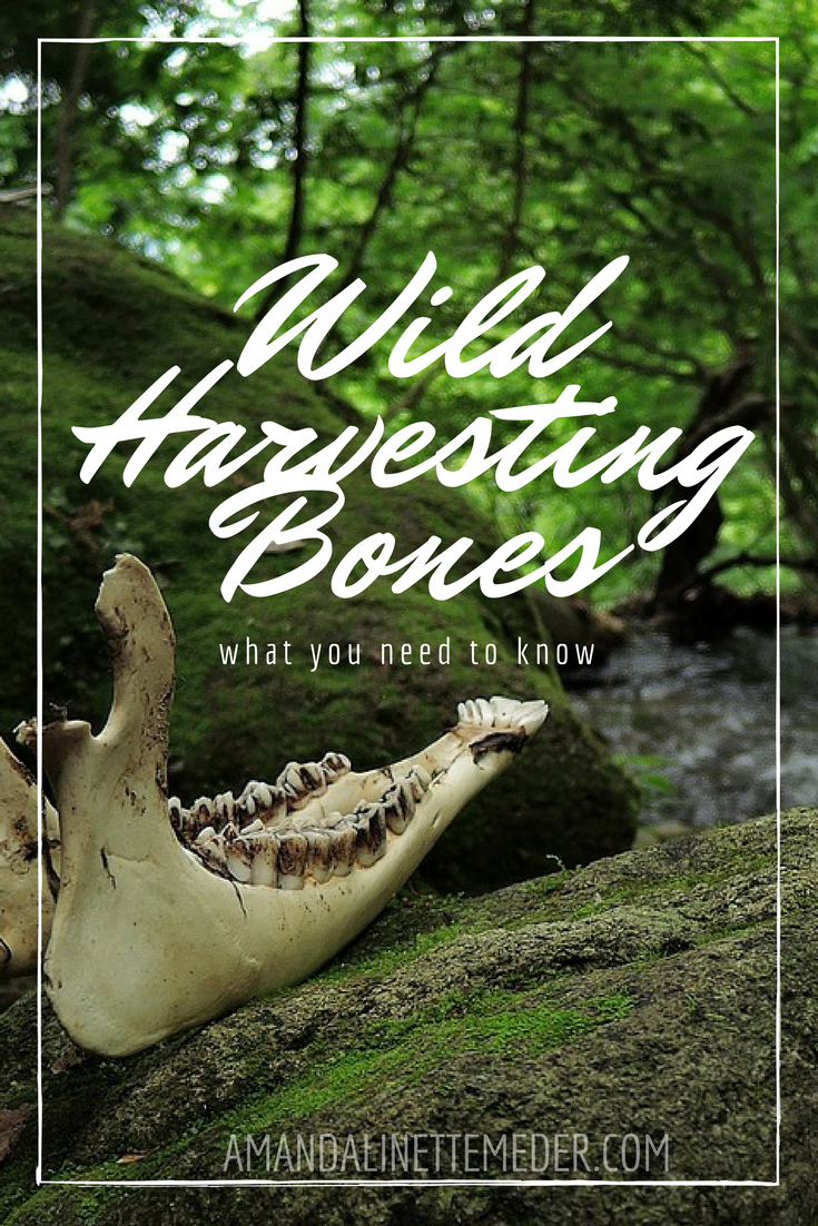 Collecting bones in the woods? me too! There is literally nothing I love more, but while there is normal a 'don't ask, don't tell policy' among the hiking and spiritual communities regarding treasures found whilst out and about, collecting bones is actually against the law in many states. That is, without a hunting or educational permit . . . .