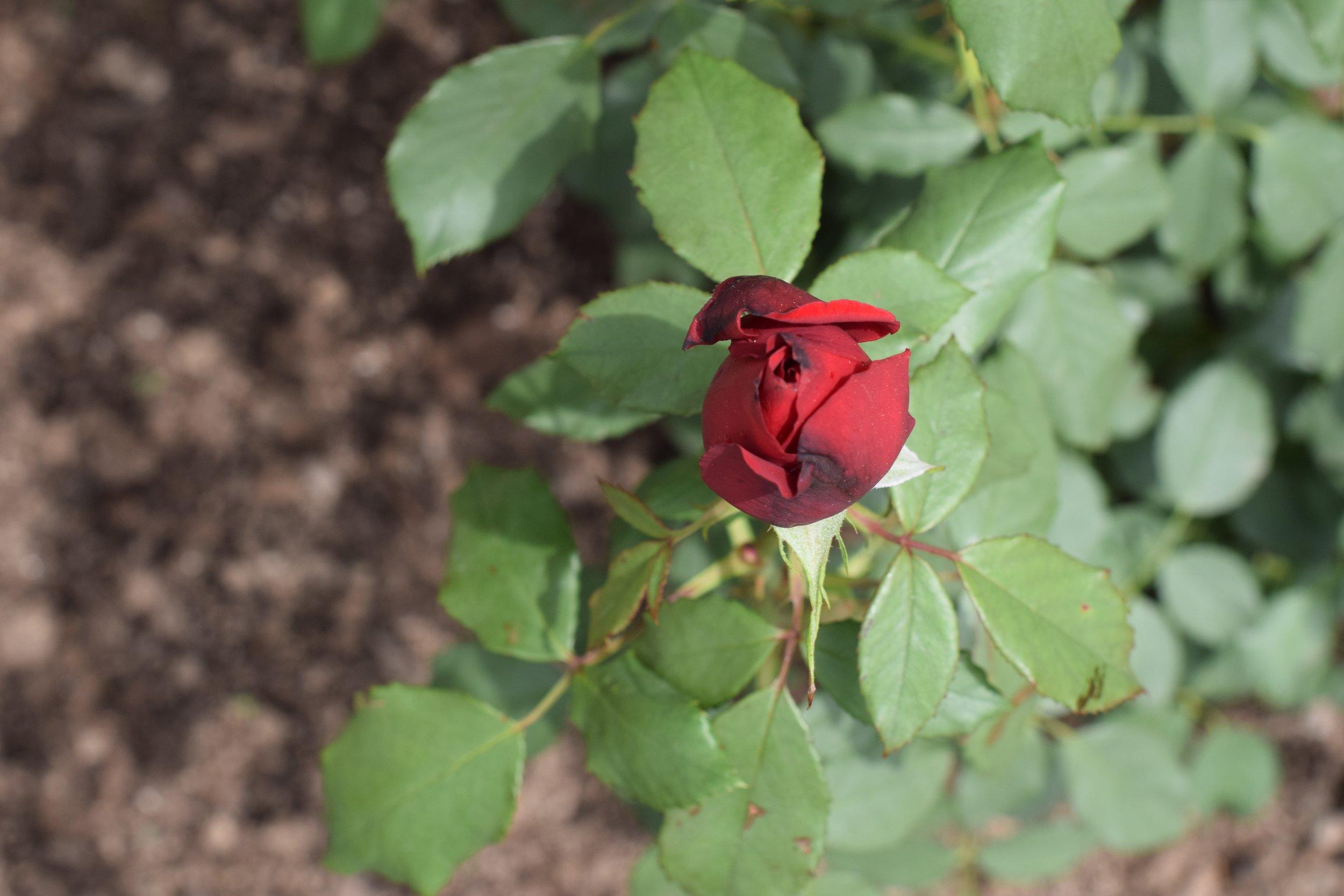 rose-amanda-meder