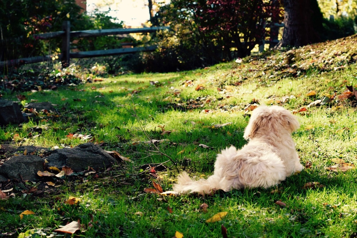 Lhasa apso dog sitting on grass in the golden hour. Photo: Amanda Linette Meder