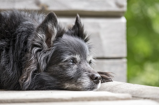 Older dog with gray fur, Photo: Pixabay