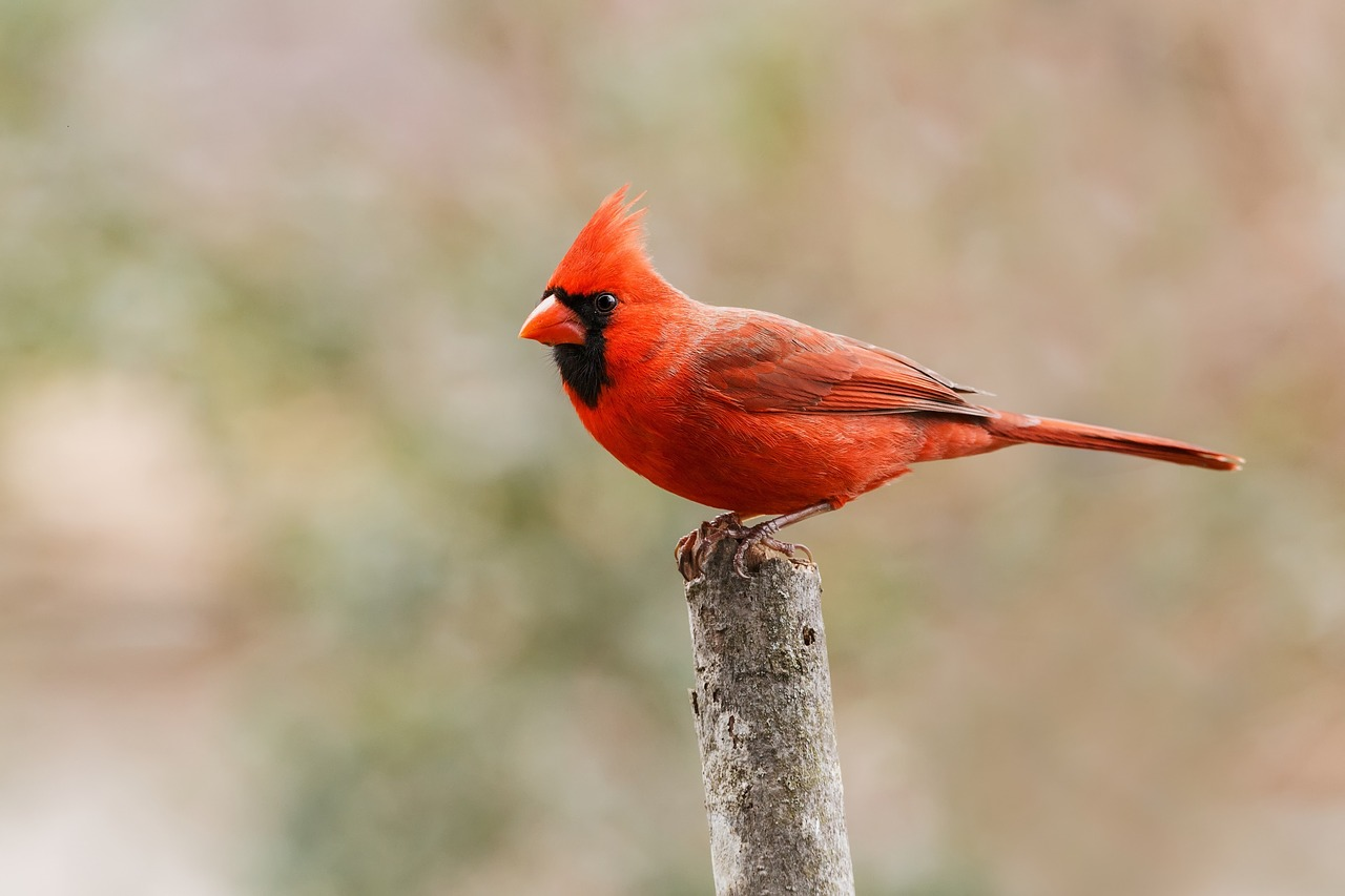 Cardinal Signs: What Do They Mean? Photo of Male Cardinal on branch in light winter background. Image by  skeeze  from  Pixabay