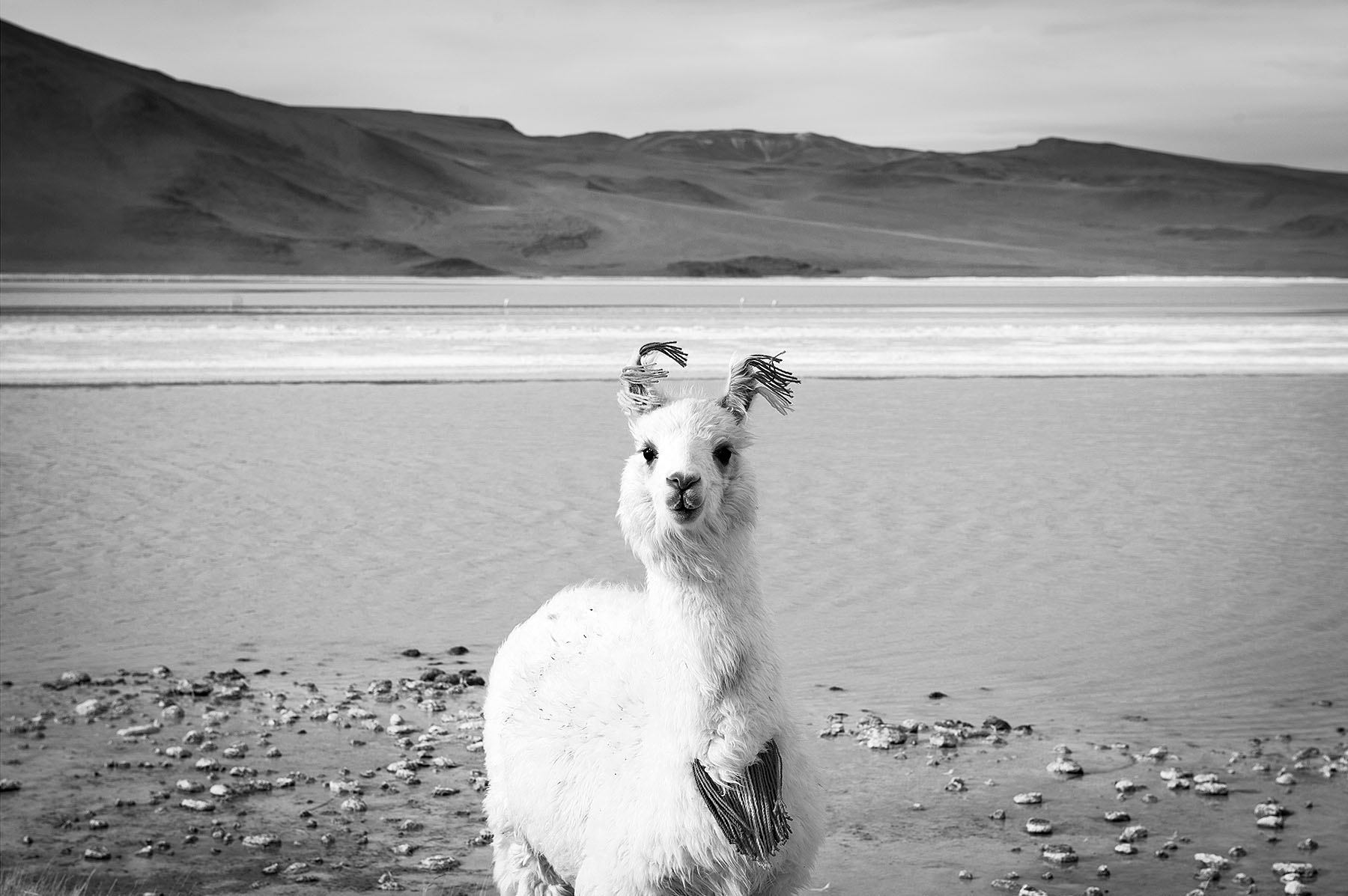 places_llama_natgeo_bw.jpg
