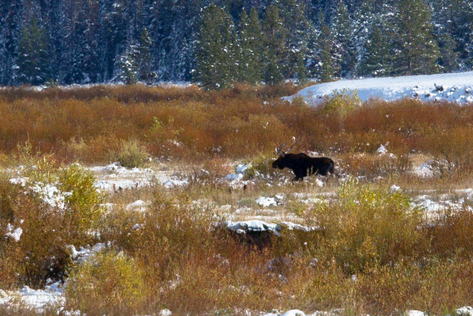 A Moose in Yellowstone