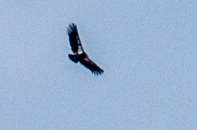 A rare Condor, taken with my 'Bigfoot' blurry lens at Plateau Point, Grand Canyon.