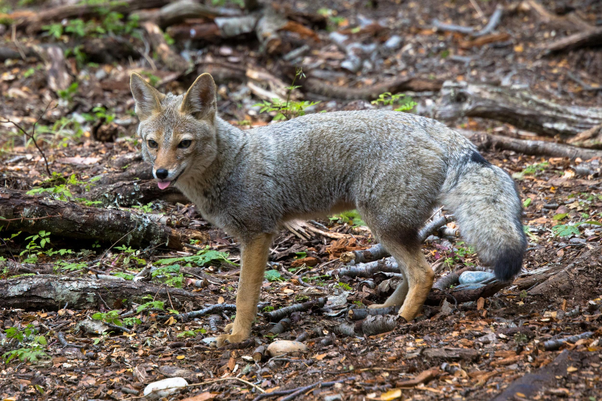 Patagonian Fox