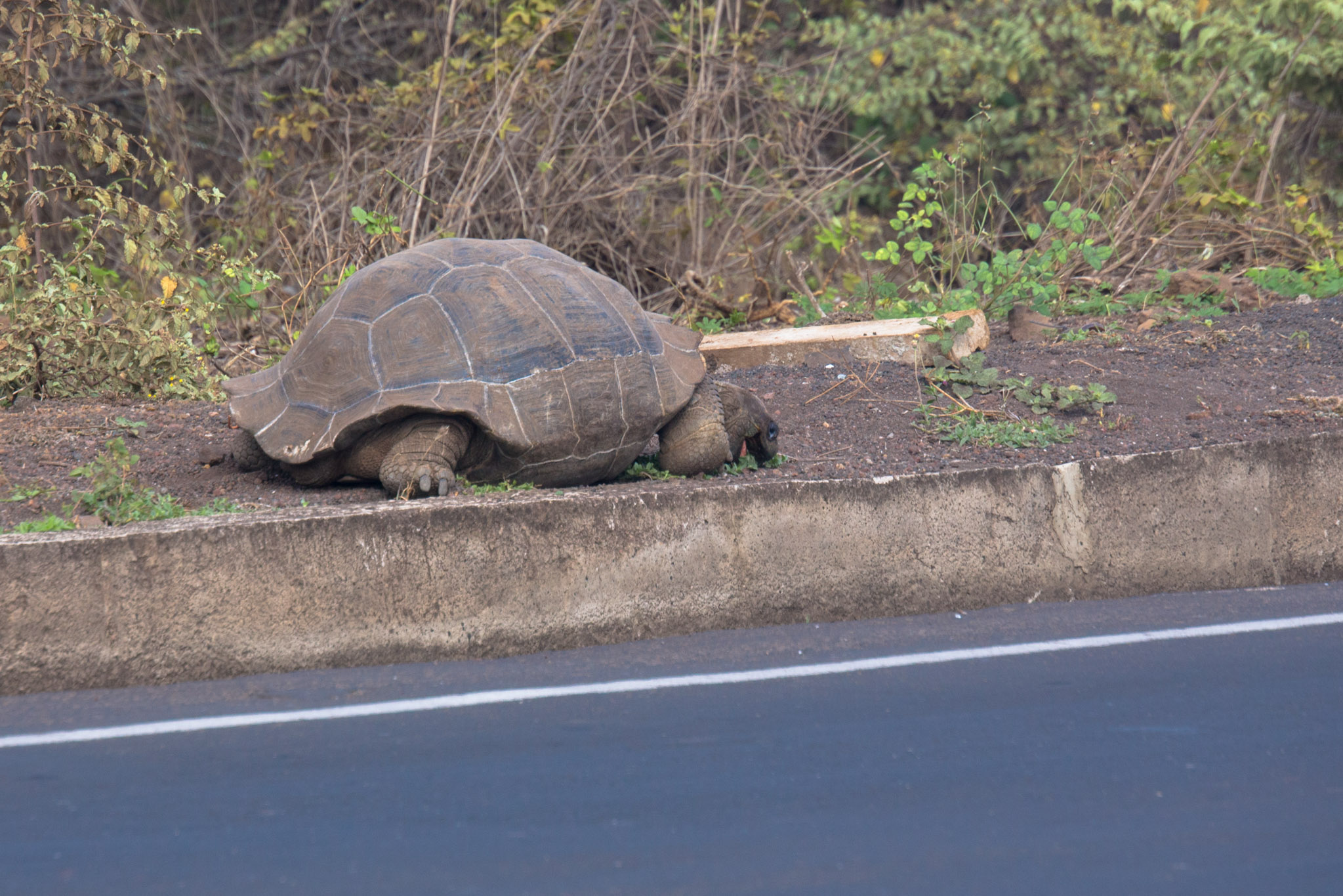 Giant Tortoise eating breakfast at the bus terminal on the way to board the Santa Cruz. A normal day in Galapagos.