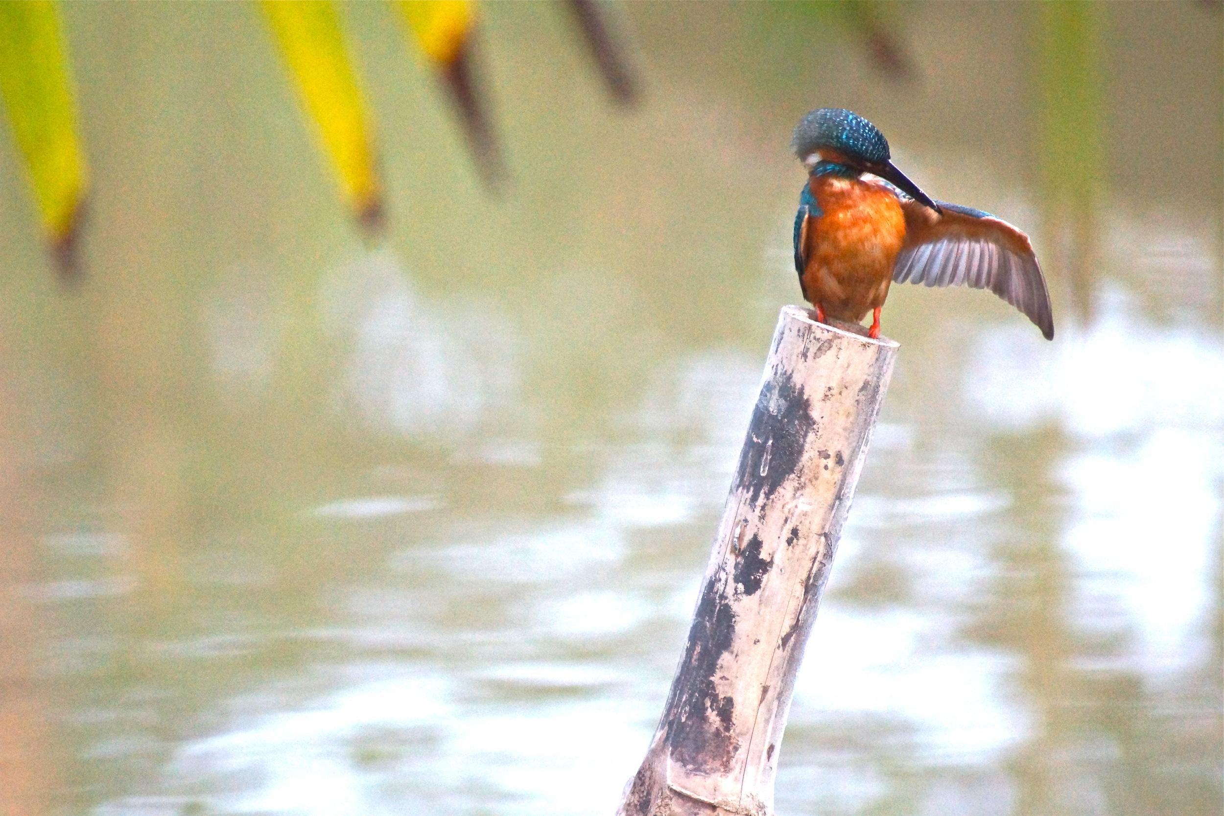 Kingfisher. Sundarbarns, India