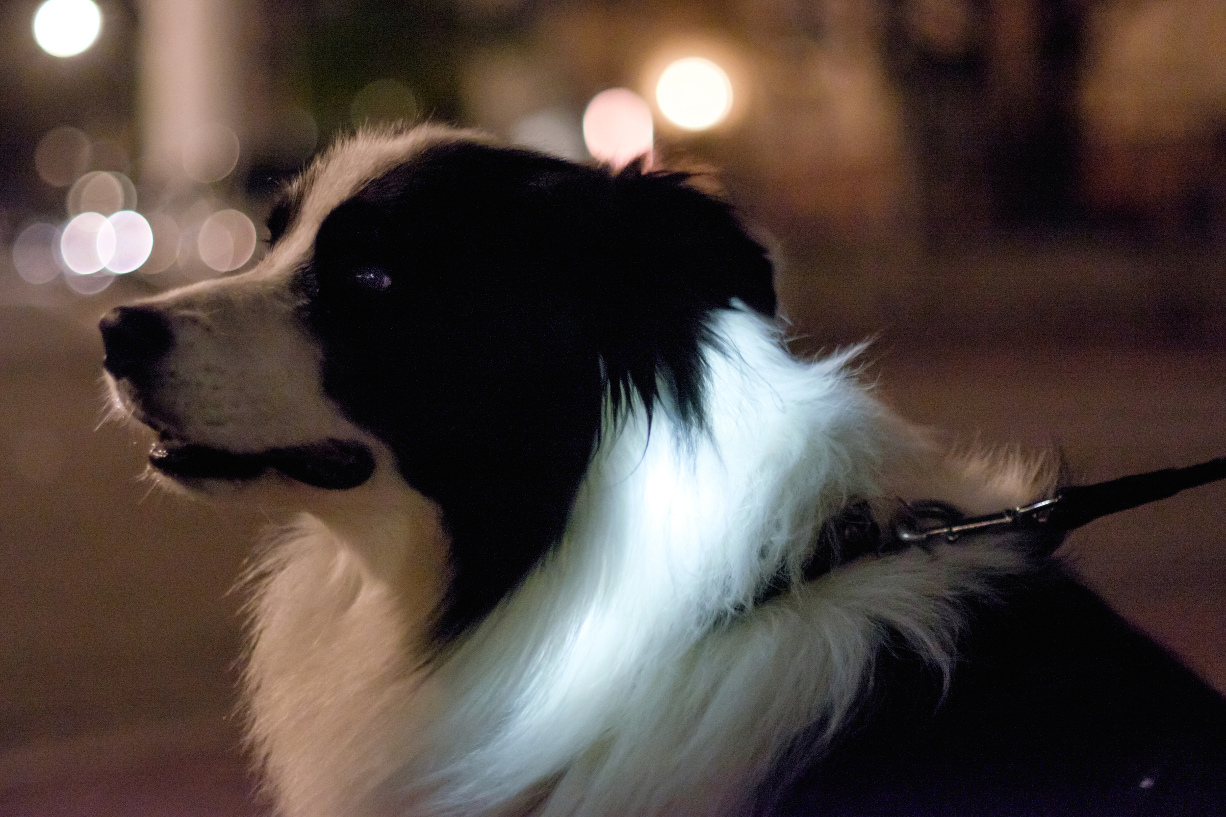 The LED collar made the dog´s mane glow most magically, I just had to stop and make the portrait.