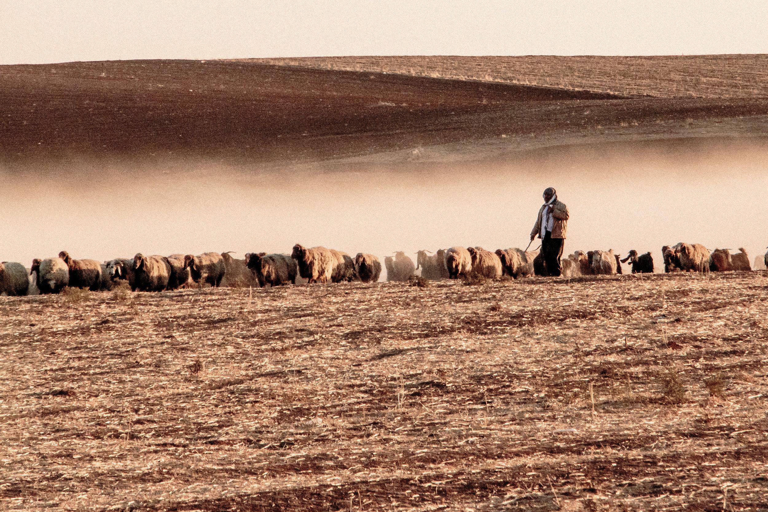 Shepherd at sunset near Camp Kabarto, Kurdistan Region of Iraq