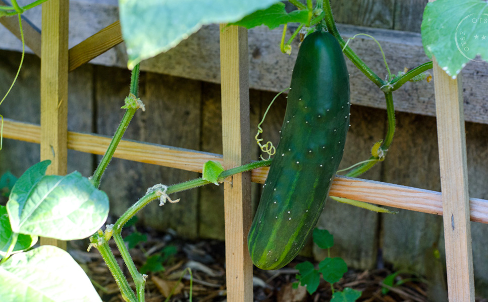 Hello there! The first cucumber to be harvested this year.