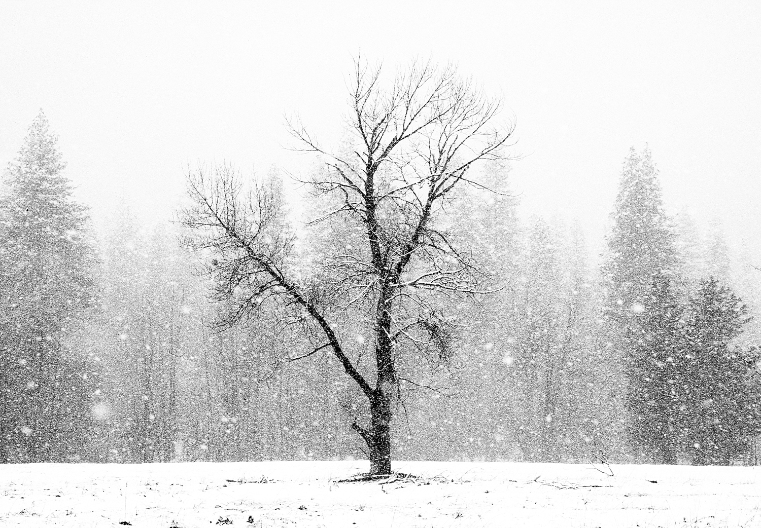 (S)tree in snow IS13.5x9.5s.jpg